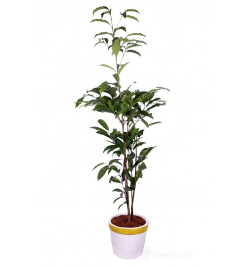 Bokul Indoor Local Plant with White Golden Planter
